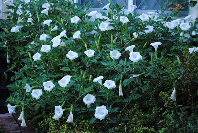 many white moonflowers open