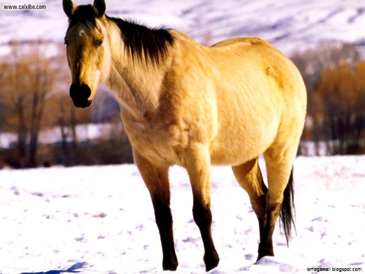 American Quarter Horse Wallpapers Mega Wallpapers