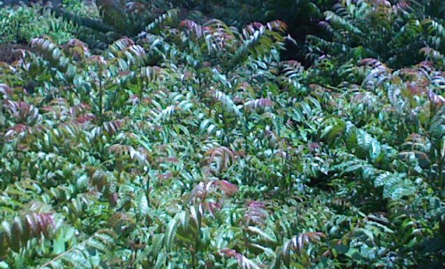 Tanaman dari keluarga meliaceae inimemiliki nama ilmiah toona sureni