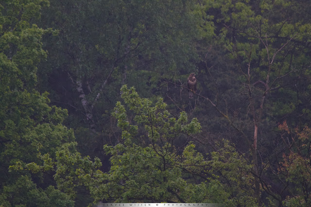 Deze Buizerd valt nauwelijks op tegen de donkere achtergrond - This Buzzard is well camoflaged against the dark background