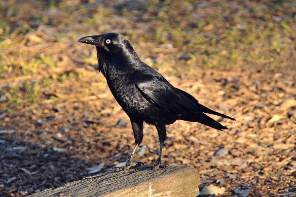 Australia raven or crow