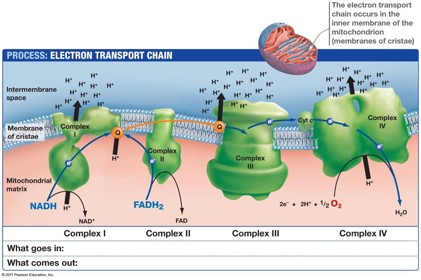 Resultado de imagen de Las mitocondrías tienen fugas