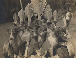 vintage photo collie