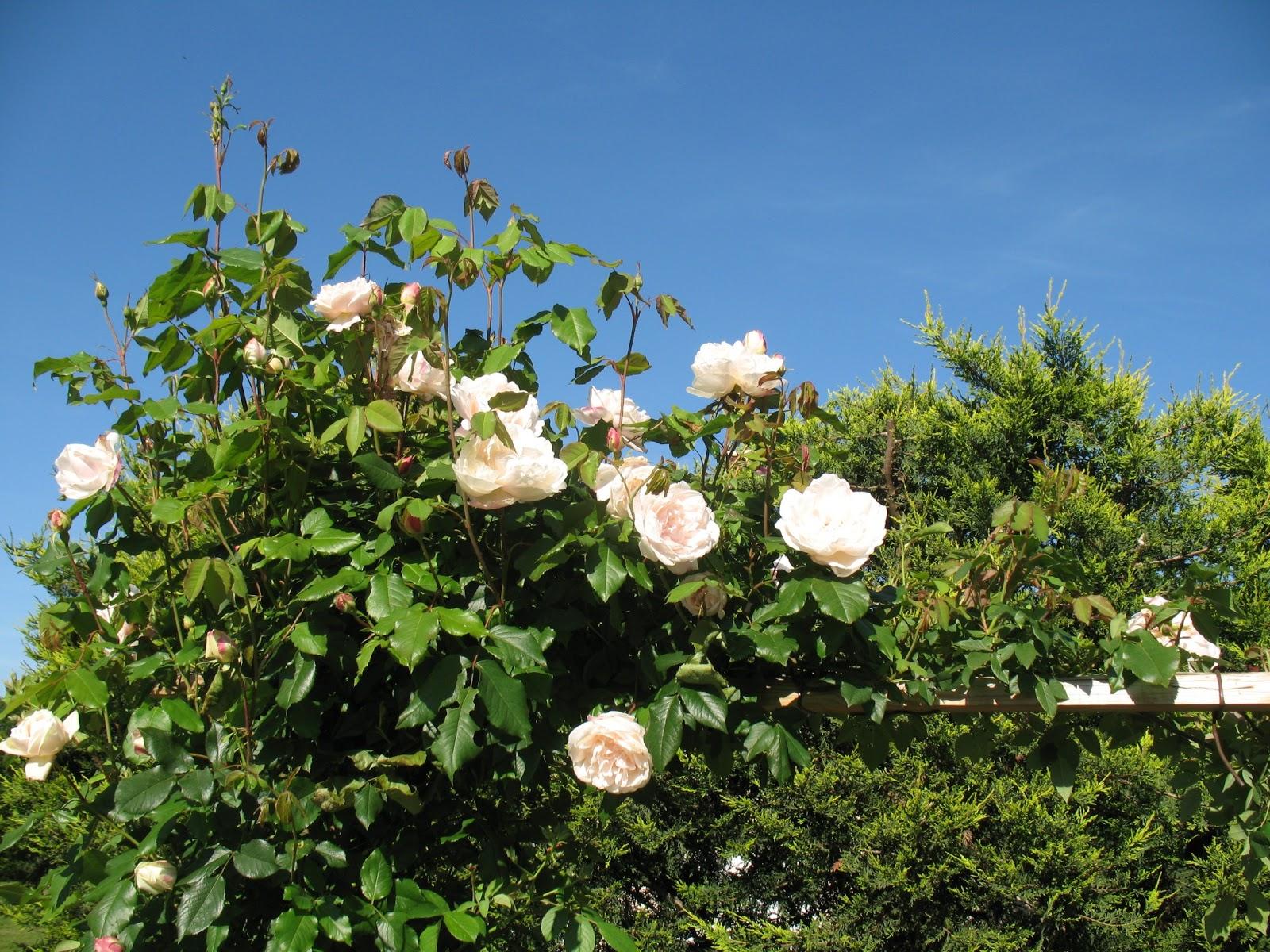 Roses du jardin ch neland rosier mme alfred carri re for Rosier grimpant pour mi ombre