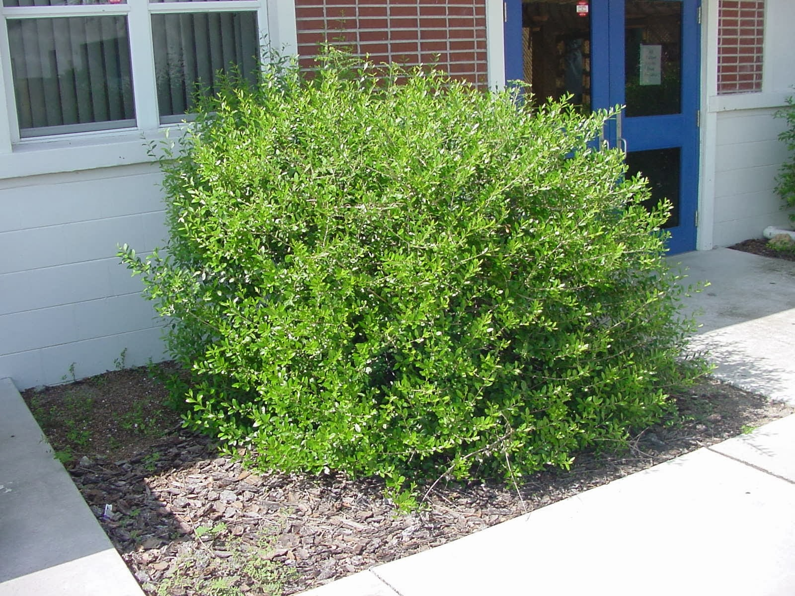 Uf ifas extension polk gardening native shrubs for for Landscaping shrubs