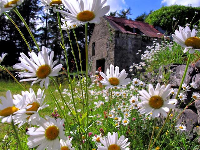 daisy ruin, Oughterard © Annie Japaud Photography