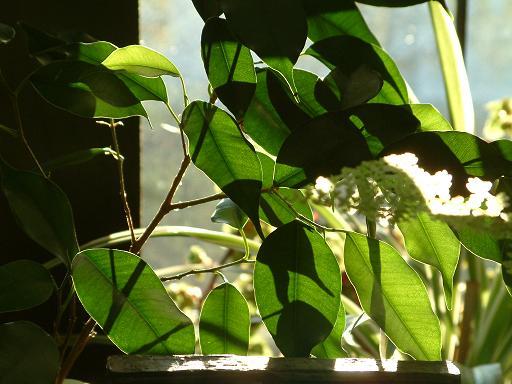Plantas de interior - Ficus benjamina