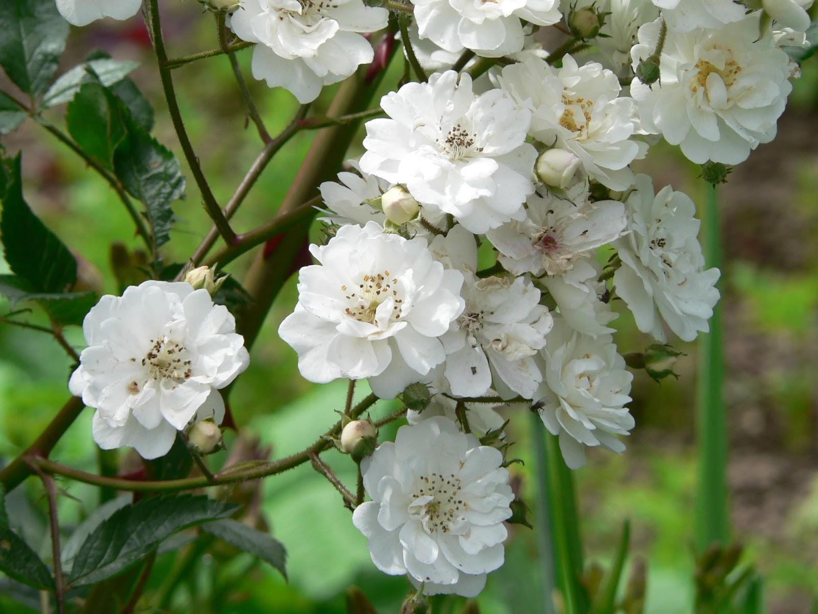 Fleurs blanches automne - Arbuste petites fleurs blanches ...