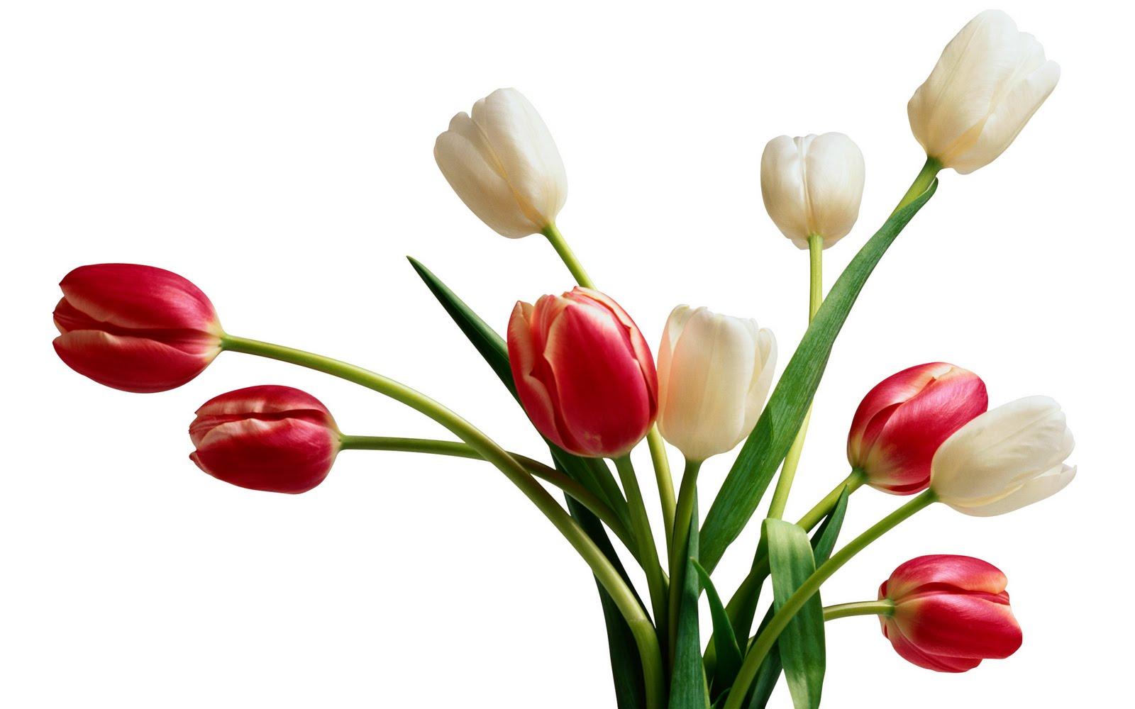 courtney baird tulip wallpaper hd
