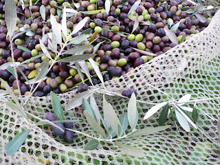 raccolta delle olive, reti,