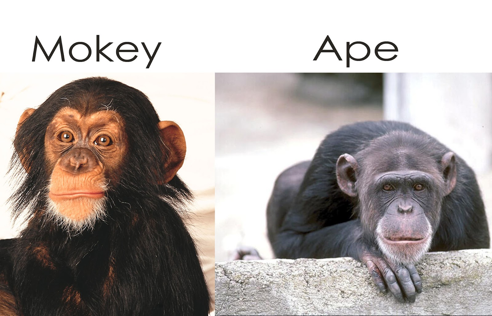 apes vs monkeys Aside from size -- apes are generally much larger than monkeys -- the most noticeable anatomical difference between the two is the tail, which is absent in the former.