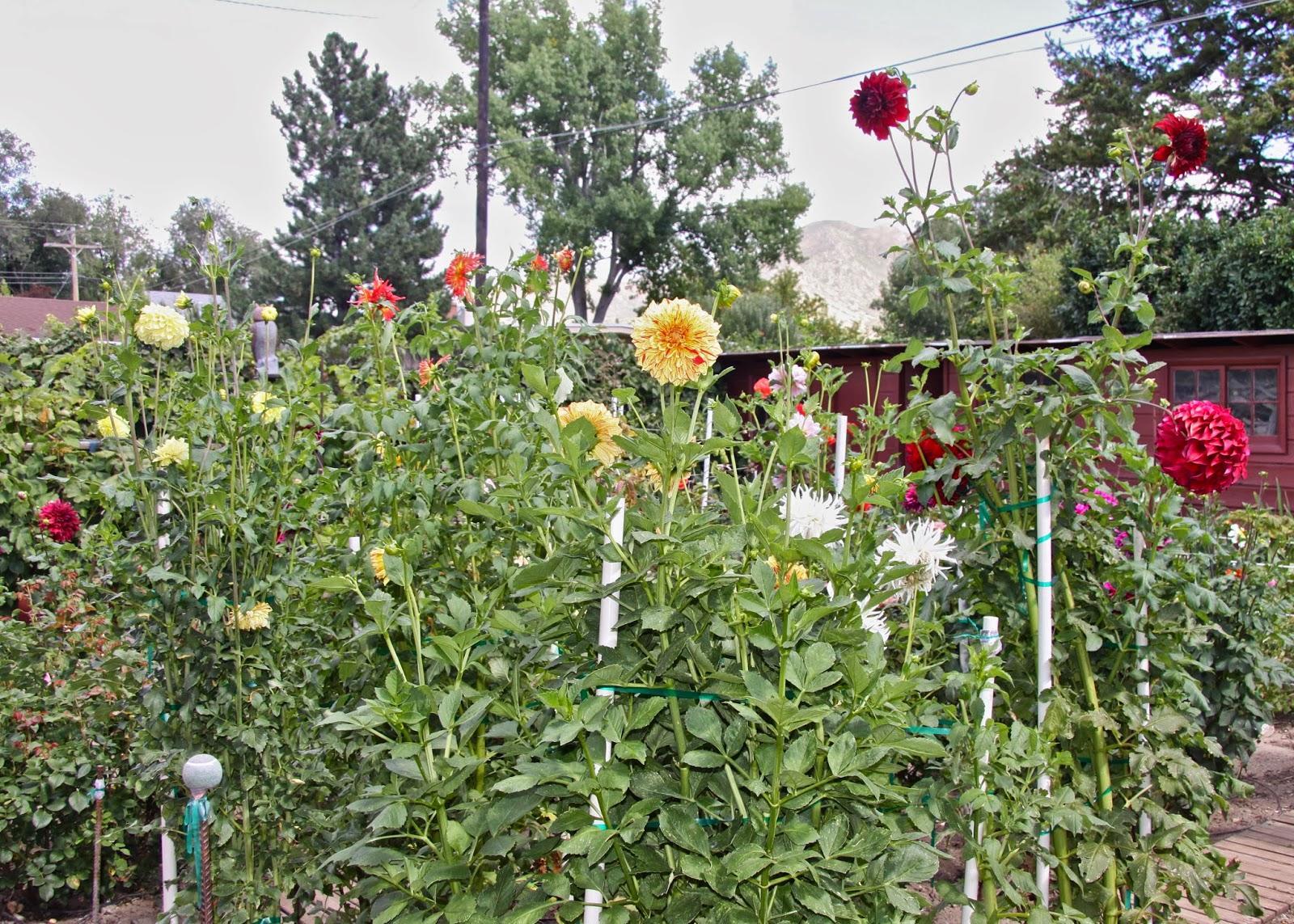Utah Dahlia Society Dee And Elaine 39 S Garden Tour