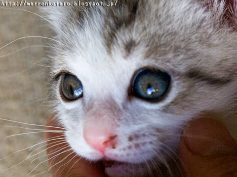 子猫の目の色の変化