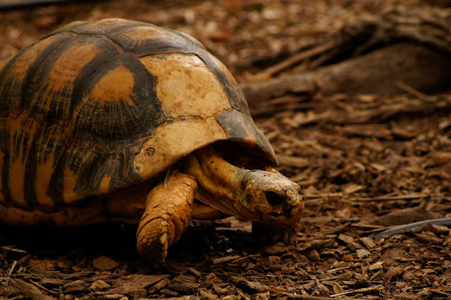 royalty free picture turtle