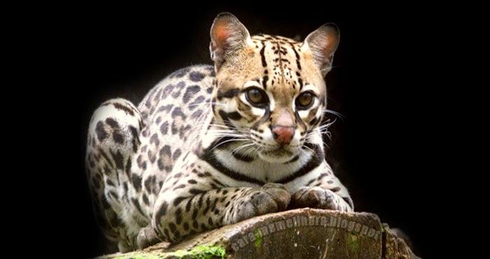 Karakteristik Fisik Kucing Hutan Kucing Batu