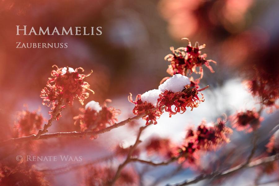 Bei der Gartenplanung ein paar Winterblüher wie Hamamelis oder Duft-Schneeball  für einen attraktiven Garten im Winter vorsehen