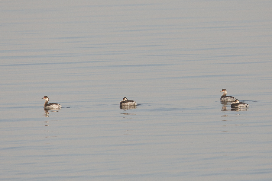 Black-necked Grebes