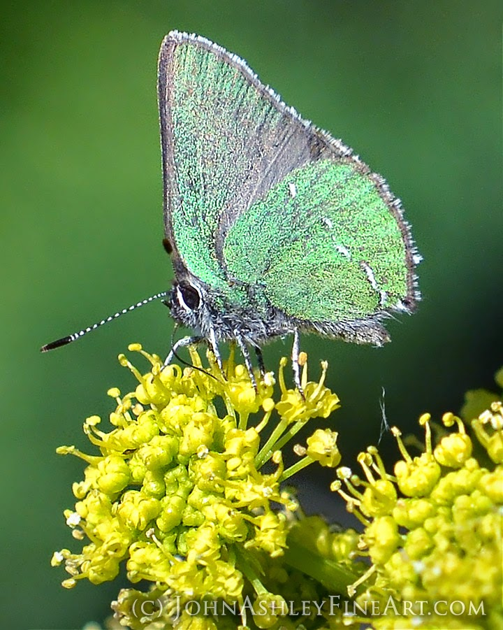 Sheridan's hairstreak butterfly (c) John Ashley