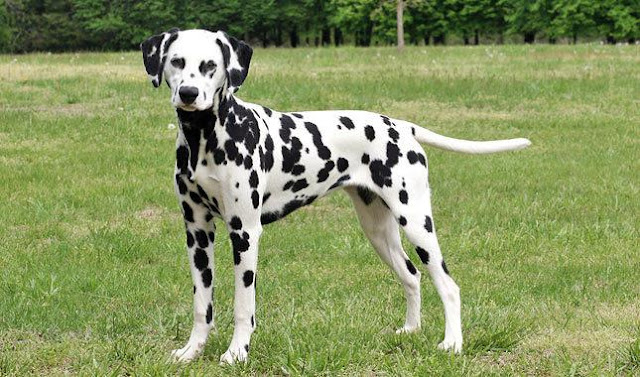 Lifespan of Dalmatian Dogs