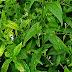 Efficacy Paniculata (Andrographis paniculata nees)