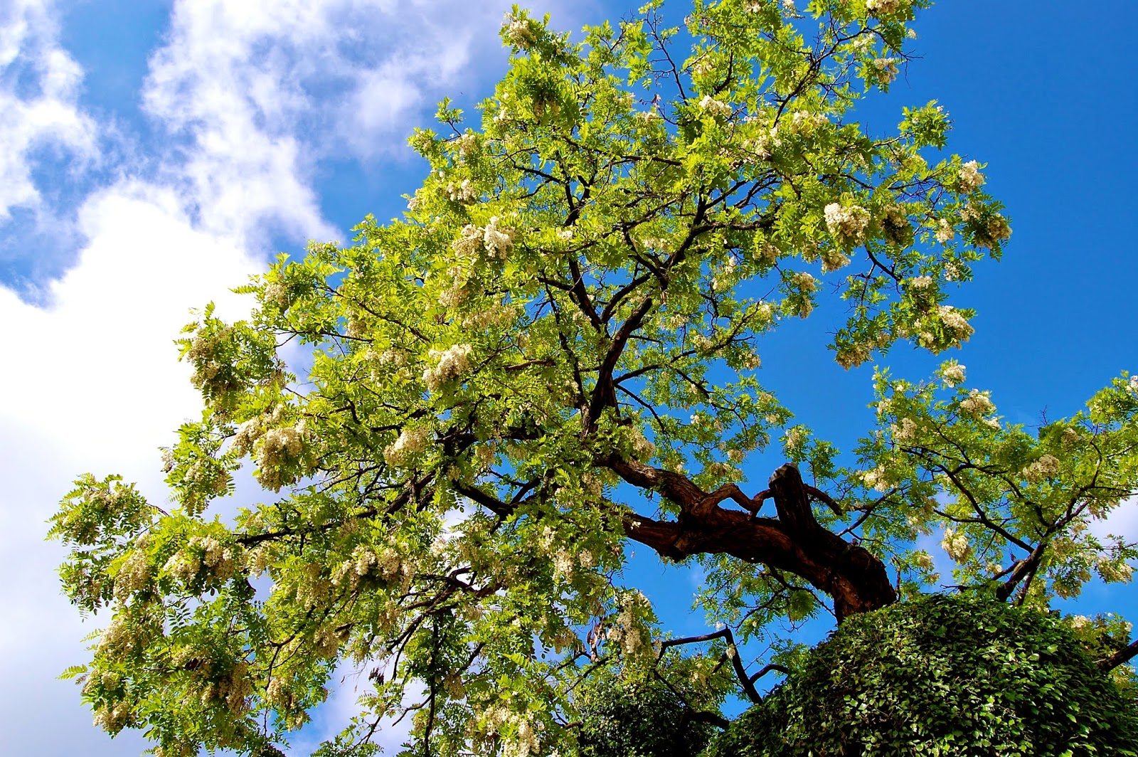 The oldest tree in Paris (Robinia pseudoacacia) still flowers after 400 years