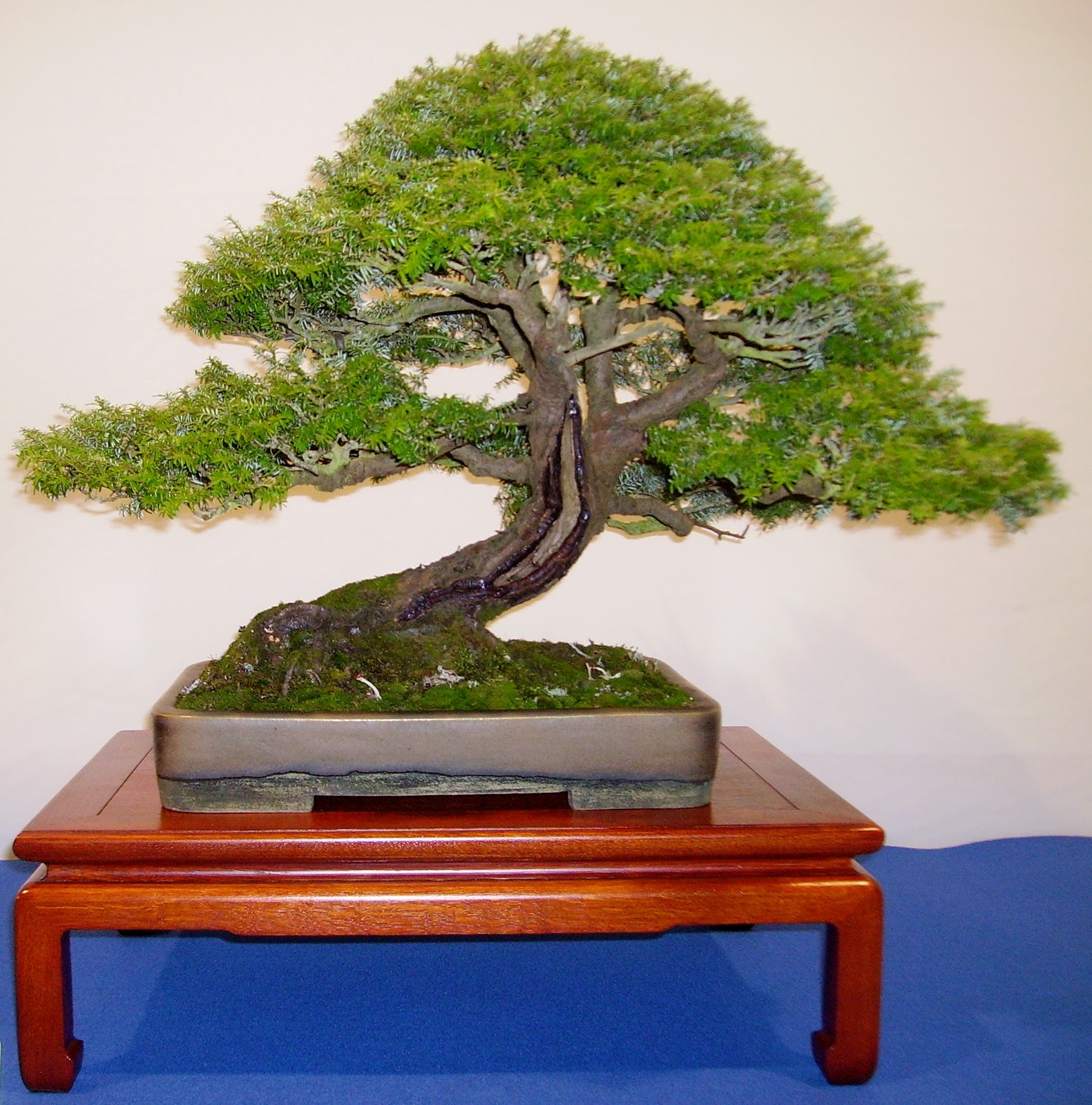 Ashfield Bonsai Club January 2012