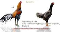 Ayam Jago Thailand
