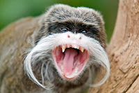 Emperor Tamarin Photos and Pictures 22