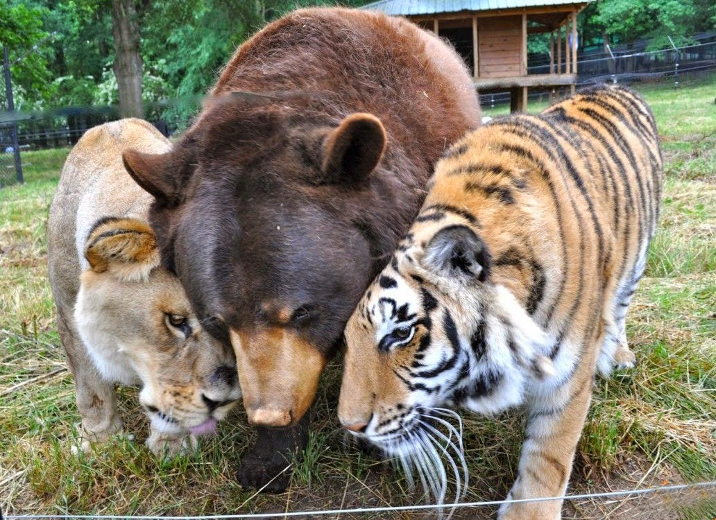 #4 Shere Khan, Baloo and Leo - Unusual Animal Friendships That Are Absolutely Adorable!
