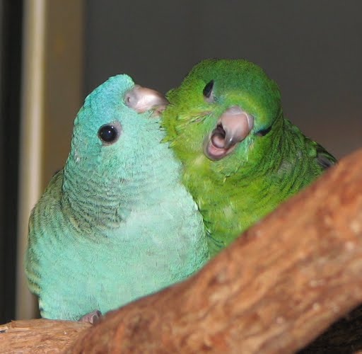 why cant males teach budgies how to talk