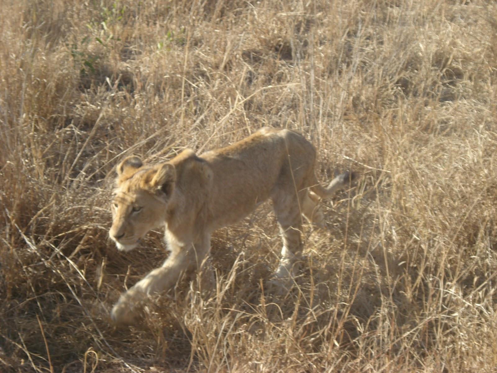 Honey badger vs lion testicles - photo#18