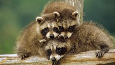 Animales que posan para la cámara - Mapaches - Racoon - Funny photos