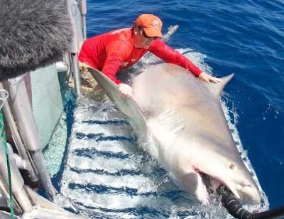 Tiburón Toro Gigante
