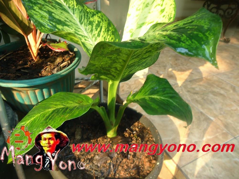 Cara mengganti pot lama dengan pot baru pada tanaman bunga.