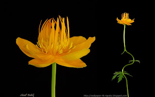 http://wallpaper-4k-tapety.blogspot.com/2015/02/penik-chinski-trollius-chinensis-golden.html