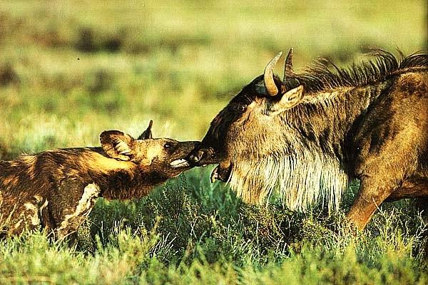 Дикая собака и антилопа, Кения