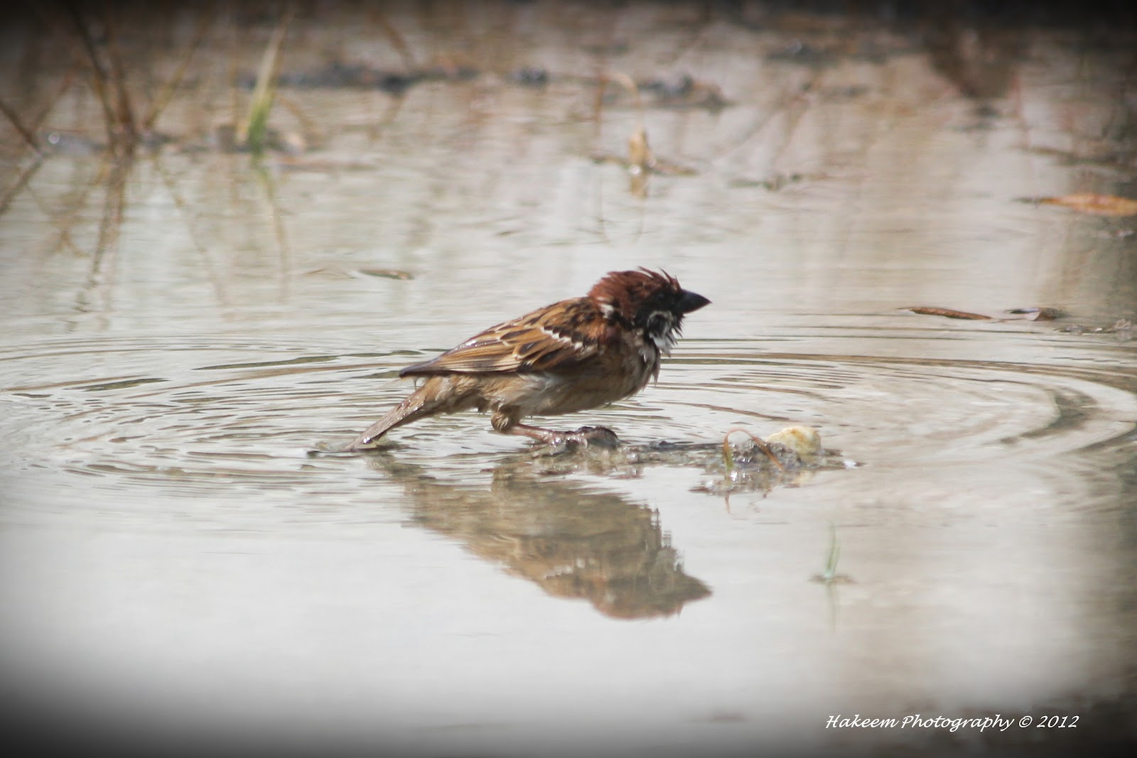 sparrow bathing in puddle