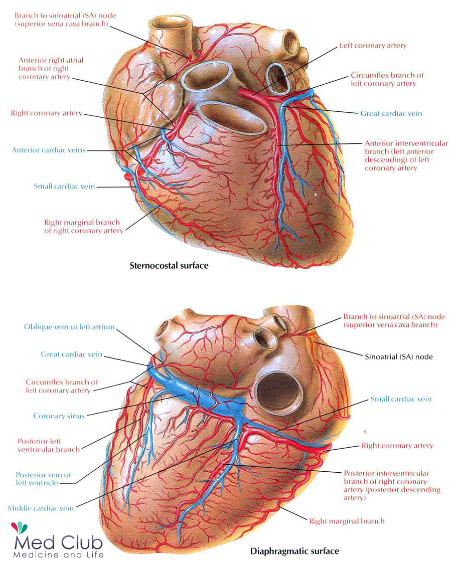 Coronary arteries - Arterial supply of the heart - Med Club