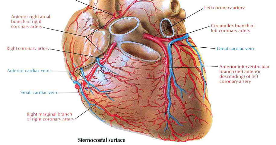 Coronary Arteries Arterial Supply Of The Heart Med Club