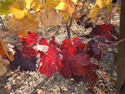 Grape Leaves Dressed for Autumn, Peachy Canyon, 2013,  ©B. Radisavljevic