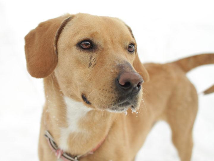 Lab dachshund mix dog breeds picture