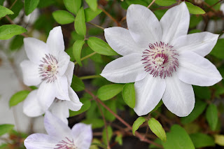my white clematis photograph