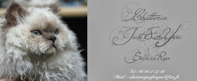 Chatterie Just for You Selkirk rex
