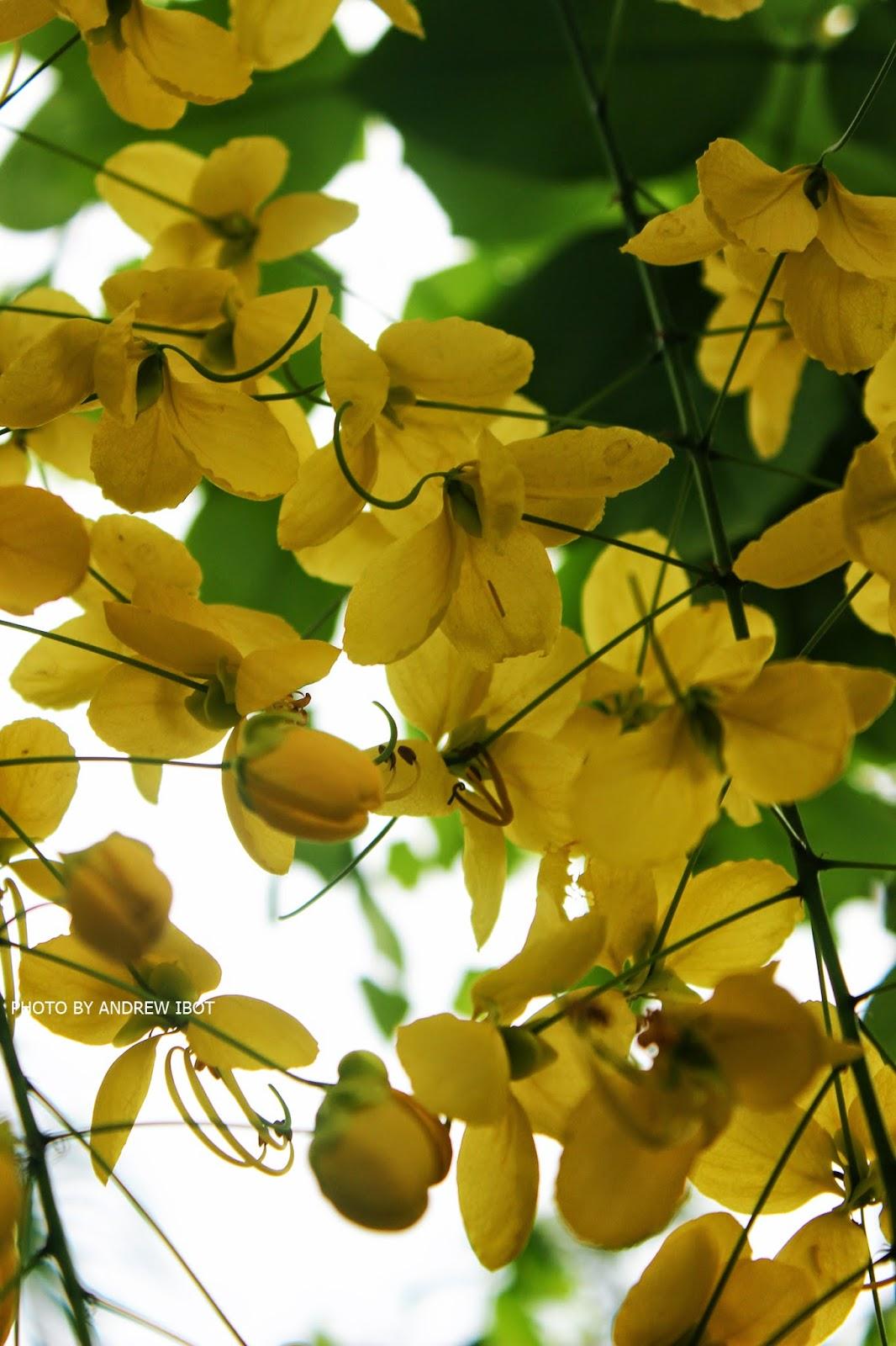 Halamang Gamot / Herbal Medicine - Kanya Pistula (Cassia fistula L)