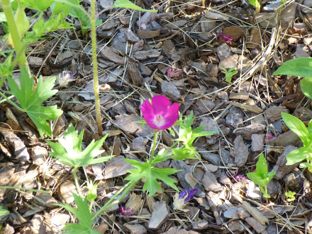 Callirhoe bushii, Bush's Poppy Mallow flower