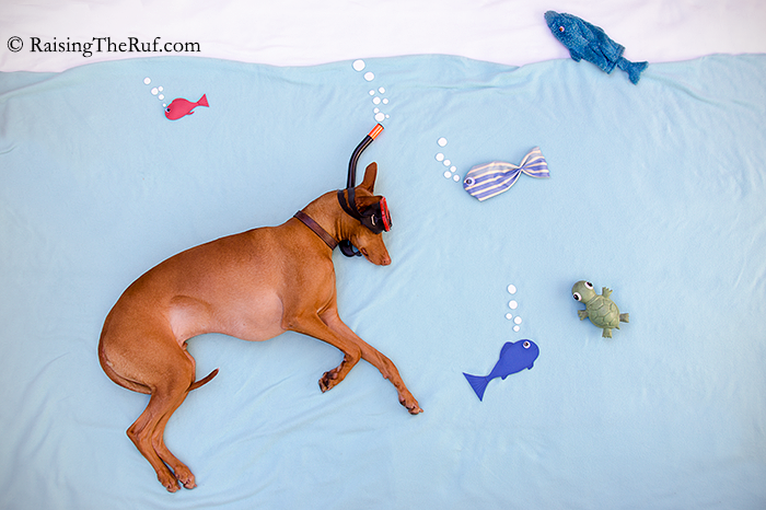 Dog Snorkeling RaisingTheRuf Adventures While Sleeping