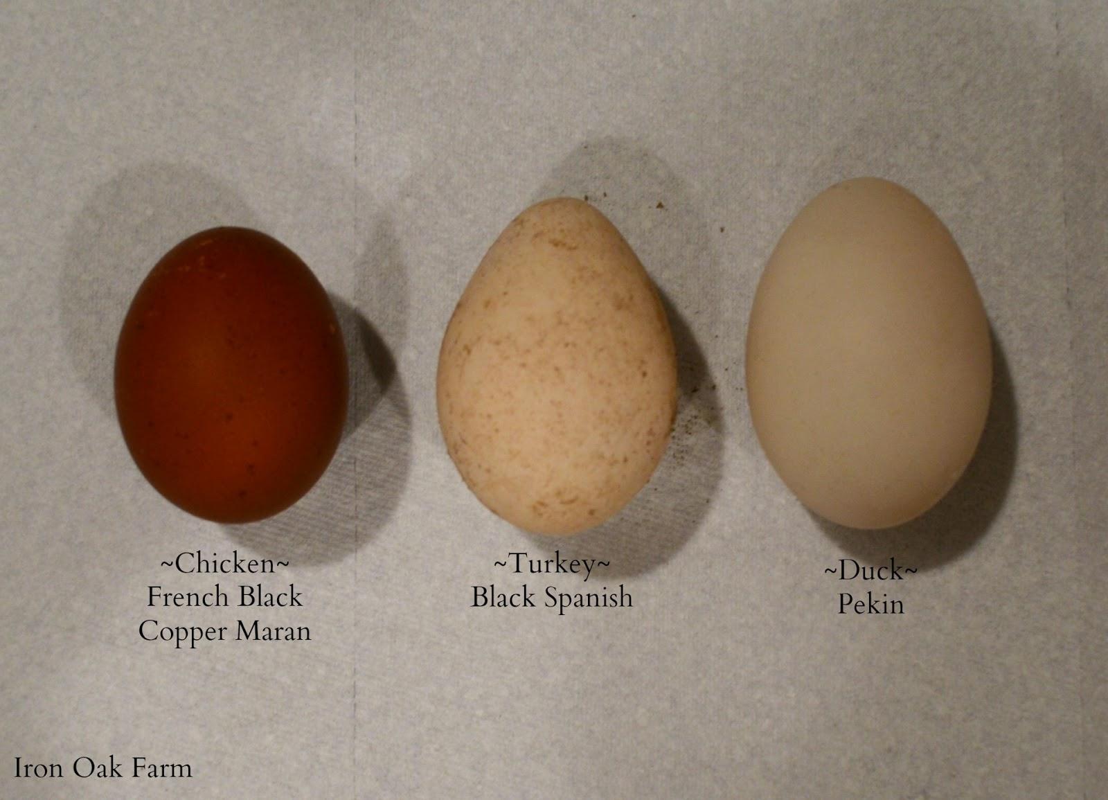 turkey eggs community chickens
