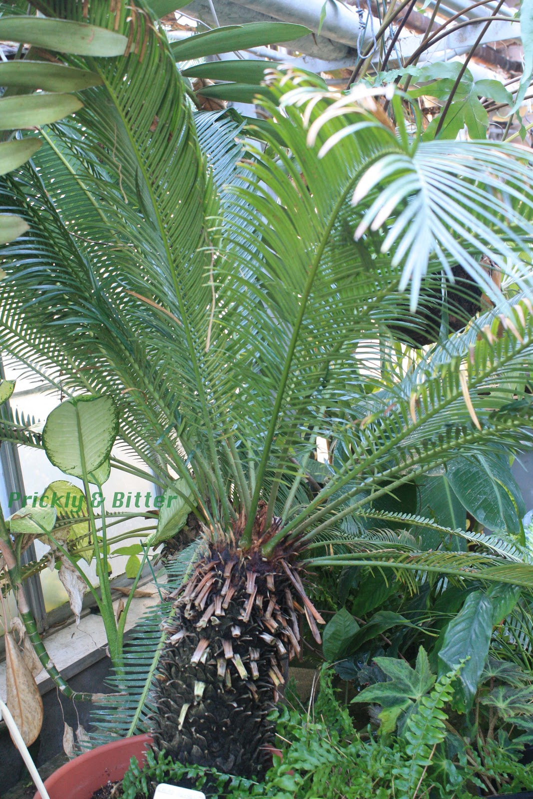 prickly and bitter the sago non palm cycad. Black Bedroom Furniture Sets. Home Design Ideas