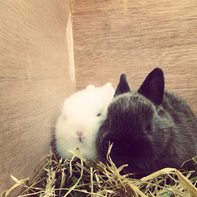 2 dwarf baby rabbits, white and black huddling in the hay and sleeping. So so cute, tiny and fluffy at the wildlife fair