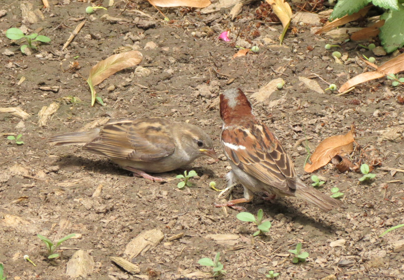 Young House Sparrow - ...